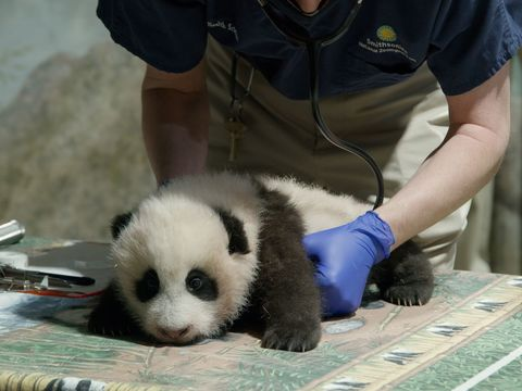 Newly named panda cub is still online as National Zoo closes doors