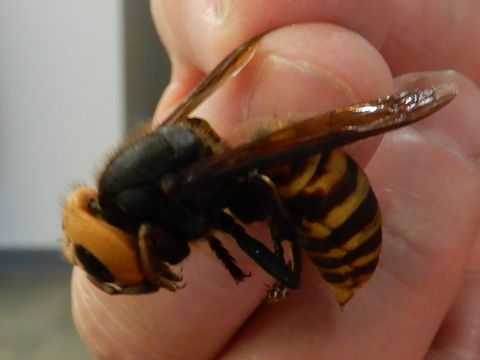 The murder hornet is the 2020 B-plot you probably didn't see coming